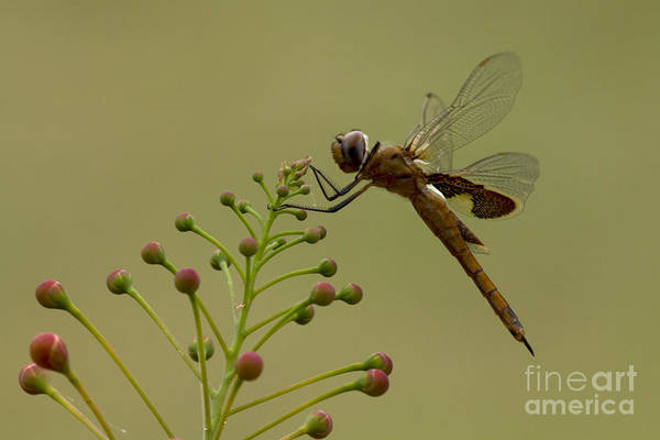 Photograph - Carolina Saddlebags by Meg Rousher