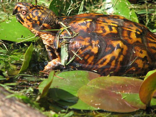 Carolina The Box Turtle In Pond Art Print