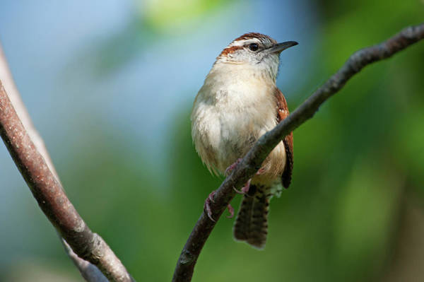Cock Photograph - Carolina Wren In Spring by Johann  Schumacher