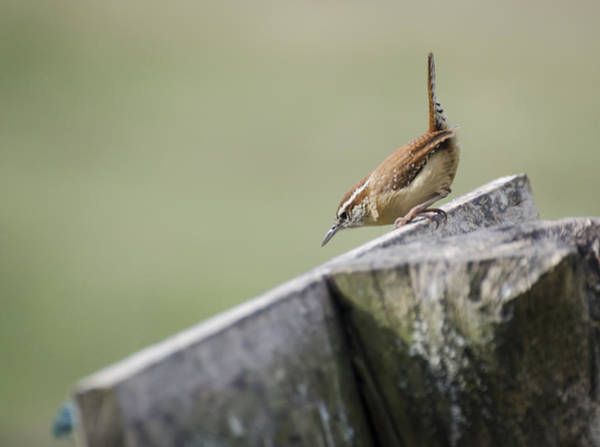 Photograph - Carolina Wren Two by Heather Applegate