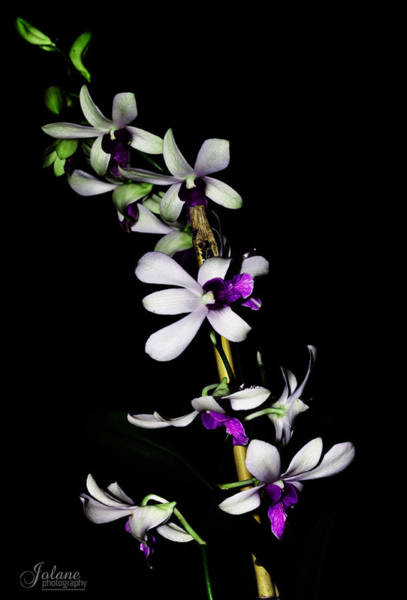 Photograph - Carol's Orchid by Jody Lane