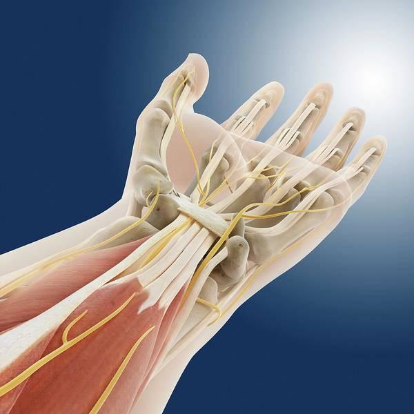Nerves Photograph - Carpal Tunnel Wrist Anatomy by Springer Medizin