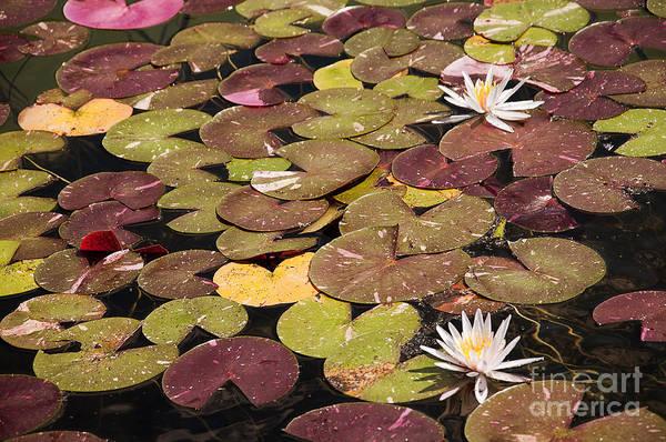 Photograph - Carpet Of Waterlilies by Brenda Kean
