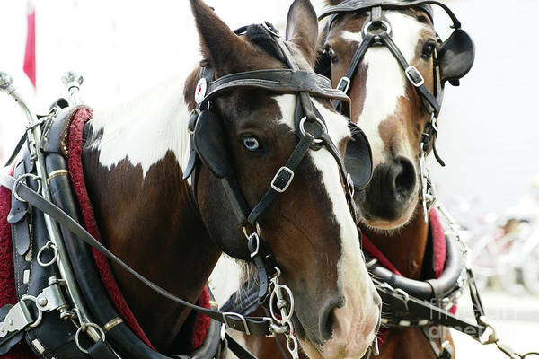 Photograph - Carriage Horse - 2 by Linda Shafer