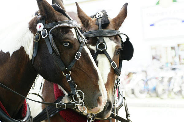 Photograph - Carriage Horse - 3 by Linda Shafer