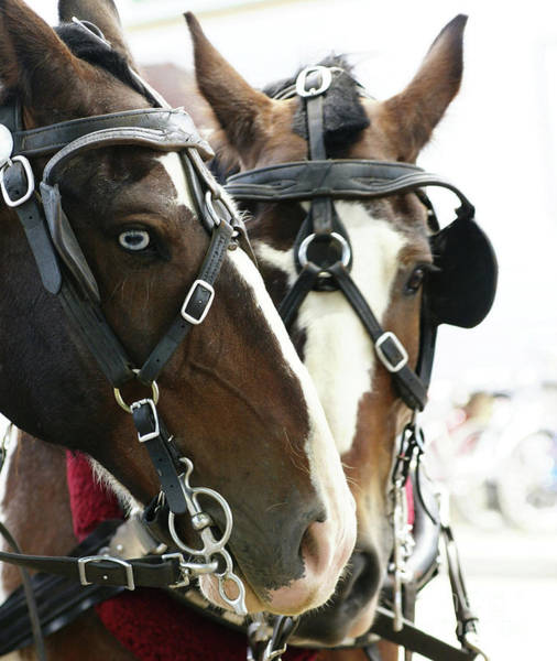 Photograph - Carriage Horse - 4 by Linda Shafer