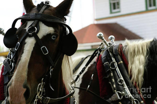 Photograph - Carriage Horse - 6 by Linda Shafer