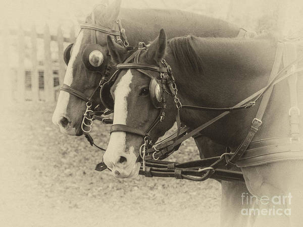 Photograph - Carriage Horses I by Terry Rowe