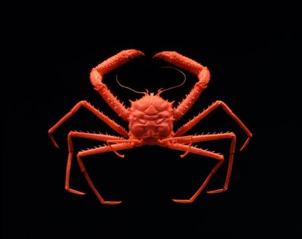 Chela Wall Art - Photograph - Carrier Crab by Science Photo Library