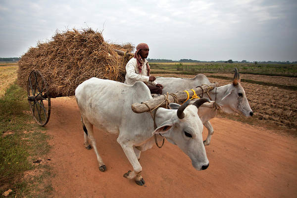 Working Photograph - Carrying Ripe Corn By Cow Driven by Partha Pal