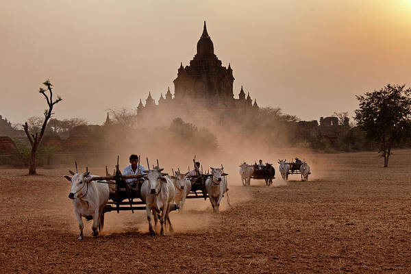 Bagan Photograph - Carts Pulled On A Dusty Field, Bagan by Art Wolfe
