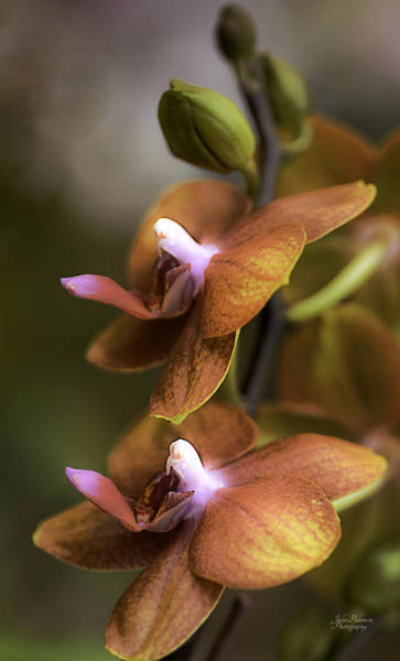 Photograph - Cascading Exotic Orchids by Julie Palencia