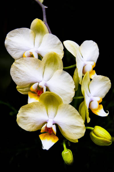 Photograph - Cascading Orchids - Delicate Yellow by Mark Tisdale