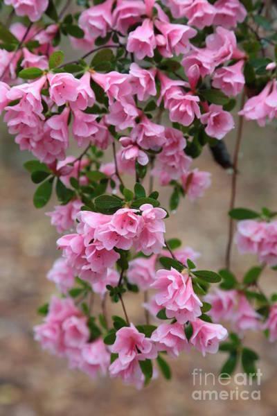 Photograph - Cascading Pink Azaleas by Carol Groenen