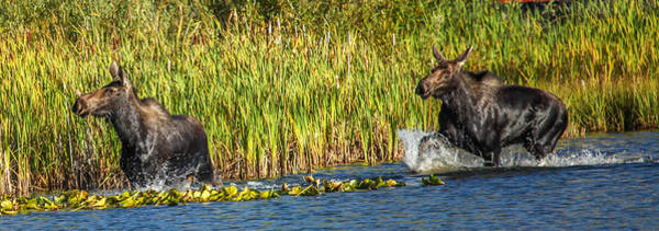 Photograph - Casey's Moose by Kevin  Dietrich