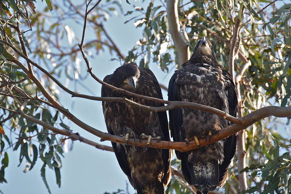 Photograph - Casitas Eagles Eighteen by Diana Hatcher