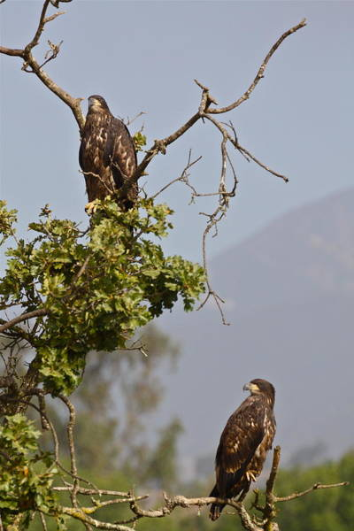 Photograph - Casitas Eagles Eleven by Diana Hatcher