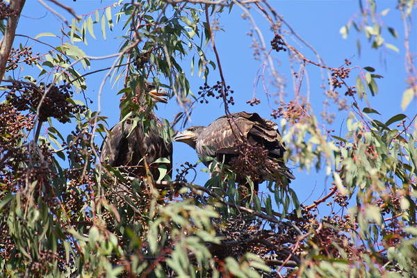 Photograph - Casitas Eagles Fifteen by Diana Hatcher