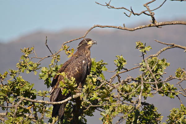 Photograph - Casitas Eagles Seventeen by Diana Hatcher