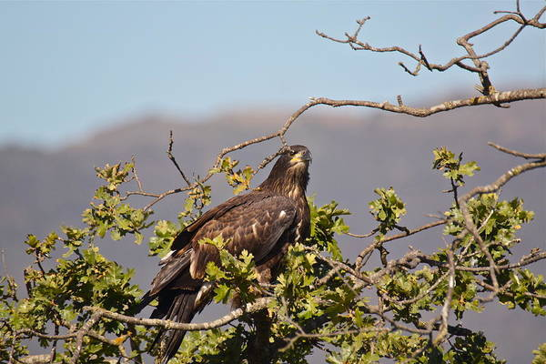 Photograph - Casitas Eagles Sixteen by Diana Hatcher