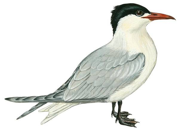 Close Up Drawing - Caspian Tern by Anonymous