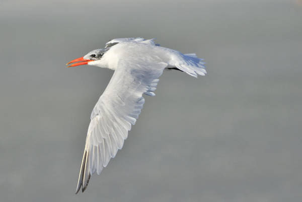 Photograph - Caspian Tern In Flight by Bradford Martin