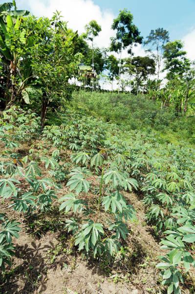 Andes Photograph - Cassava Plantation In Ecuador by Dr Morley Read