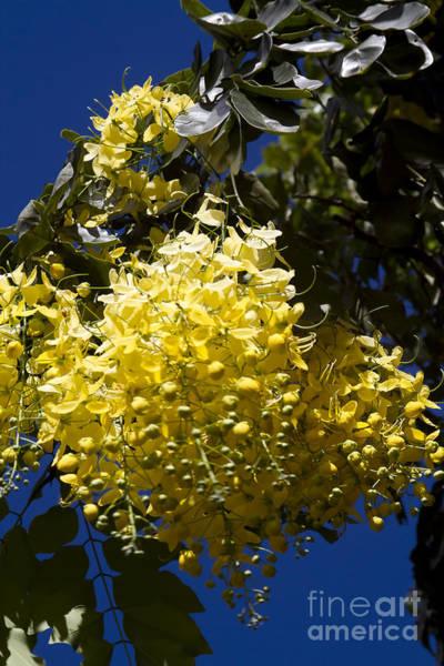 Photograph - Cassia Fistula - Golden Shower Tree by Sharon Mau