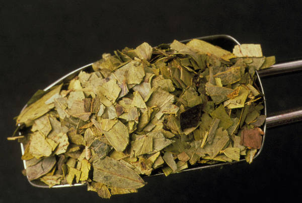 Medicinal Photograph - Cassia Leaves by Th Foto-werbung/science Photo Library