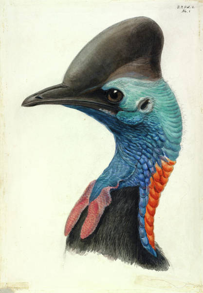 1912 Photograph - Cassowary Head by Natural History Museum, London