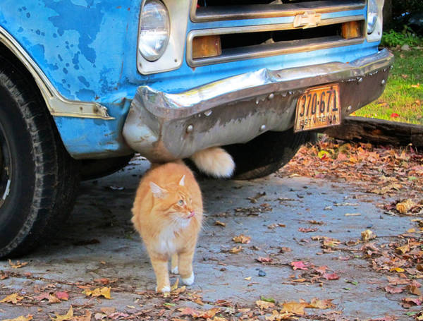 Orange Tabby Photograph - Cat And 1967 Chevy by Mary Lee Dereske