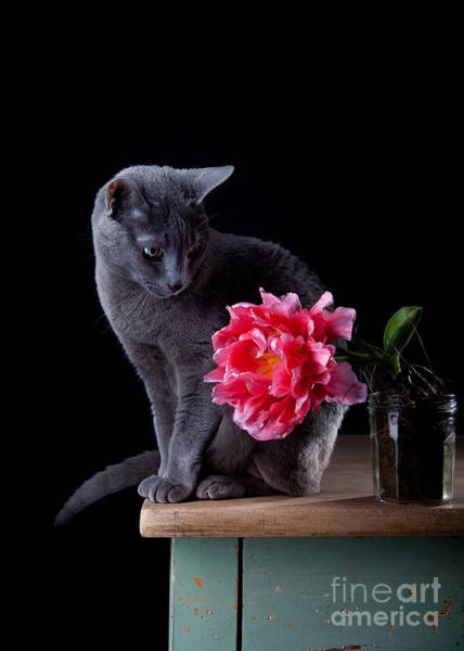 Silver Photograph - Cat And Tulip by Nailia Schwarz