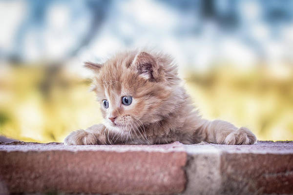 Kitten Wall Art - Photograph - Cat by Daniel Villalobos