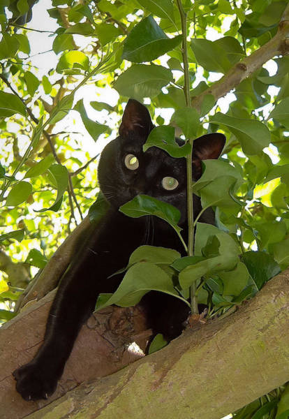 Photograph - Cat In Tree by Jenny Setchell