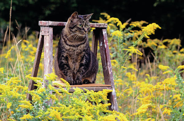 Living Space Wall Art - Photograph - Cat On Ladder In Field Of Goldenrods by Animal Images