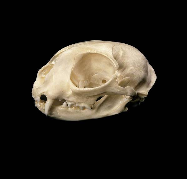 Felis Silvestris Photograph - Cat Skull by Natural History Museum, London/science Photo Library