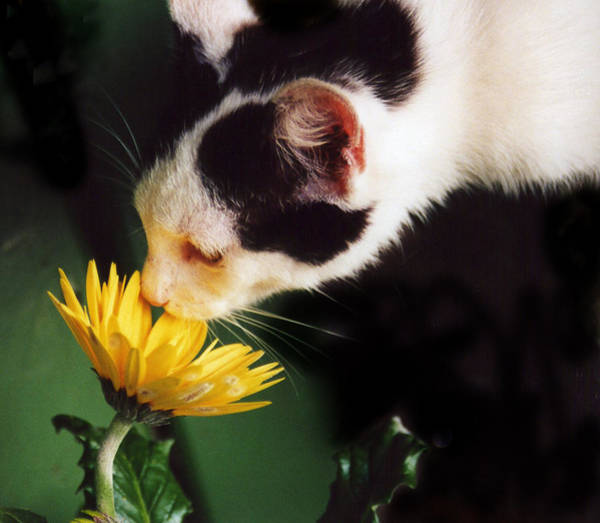 Photograph - Cat Smelling Flower by Larah McElroy