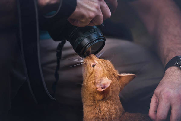 Ginger Cat Photograph - Cat Sniffing Camera Lens by Ktsdesign/science Photo Library