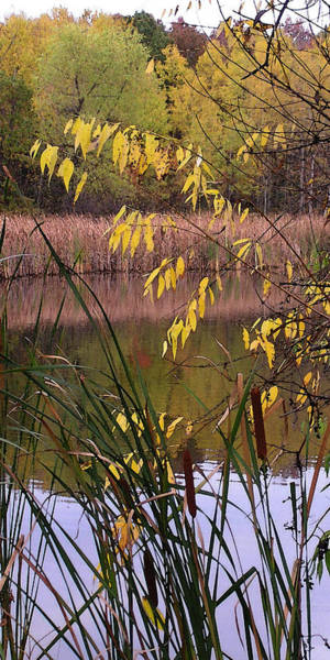 Photograph - Cat Tails In A Pond by Lynn Hansen