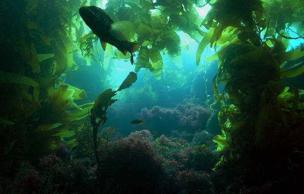 Photograph - Catalina Kelp Forest by Darren Bradley