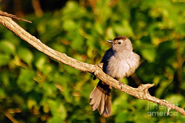 Photograph - Catbird by Larry Ricker