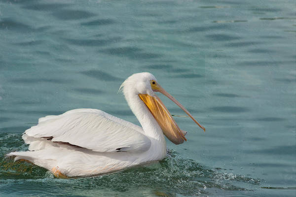 American White Pelican Wall Art - Photograph - Catch Of The Day by Kim Hojnacki