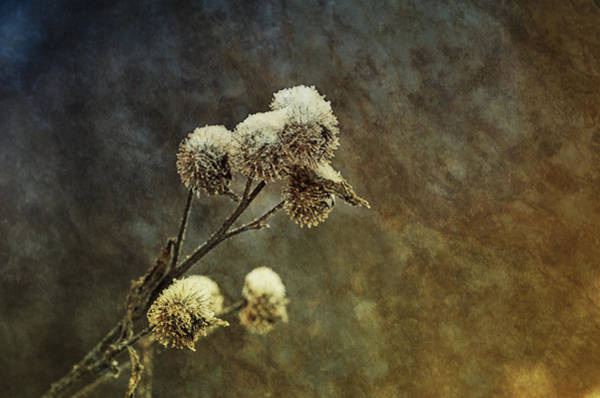 Thistle Photograph - Catching Snow by Susan Capuano