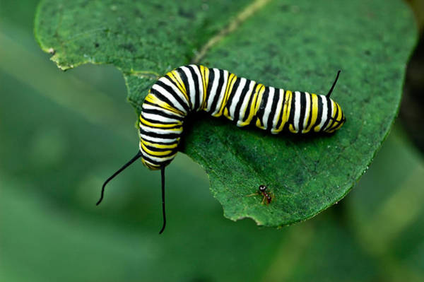 Photograph - Caterpillar And Ant On Leaf by Gary Slawsky