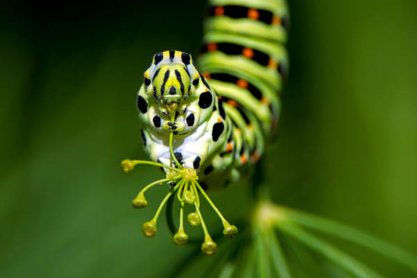 Caterpillar Of The Old World Swallowtail Art Print