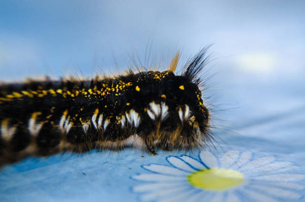 Photograph - Caterpillar On The Table by Michael Goyberg