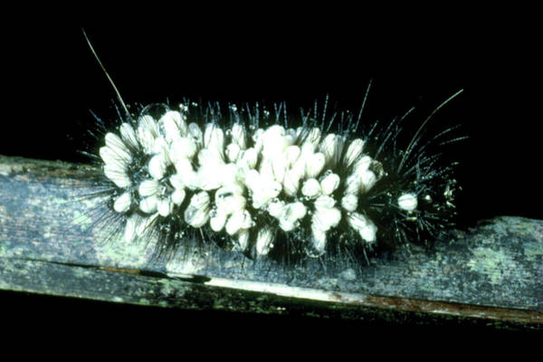 Larva Wall Art - Photograph - Caterpillar Parasitised By Ichneumon Wasp Larvae. by Dr Morley Read/science Photo Library