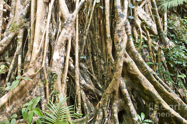 Atherton Tablelands Photograph - Cathedral Fig Tree by William H. Mullins