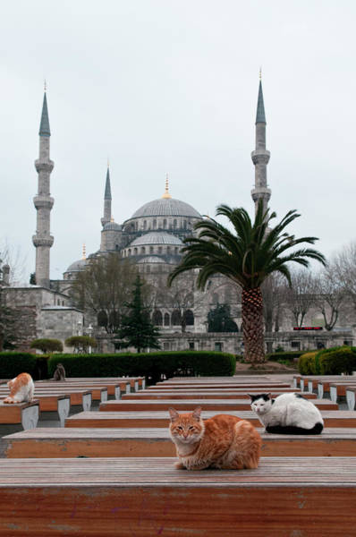 Sultan Ahmet Camii Wall Art - Photograph - Cats Sitting On Outdoor Seats by Thomas Pickard