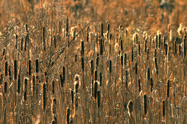 Photograph - Cattail Marsh by Pete Federico